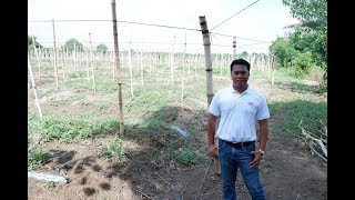 A wellestablished trellis for bittergourd / ampalaya. Do it right.