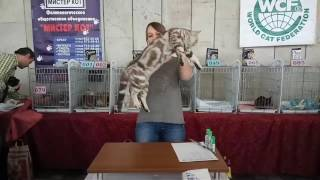 Британский шоколадный серебристый мраморный котик Daddy Bear of Anima-ART. WCF-ринг у Игнатовой