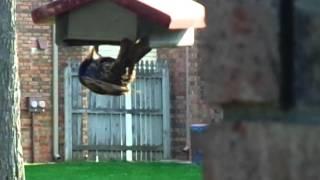 "Starling At ""woodpecker"" Suet Feeder"