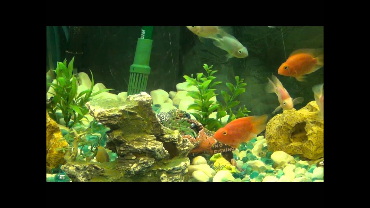 Cichlids Parrot Fish Tank Set up - Bright Colours - YouTube