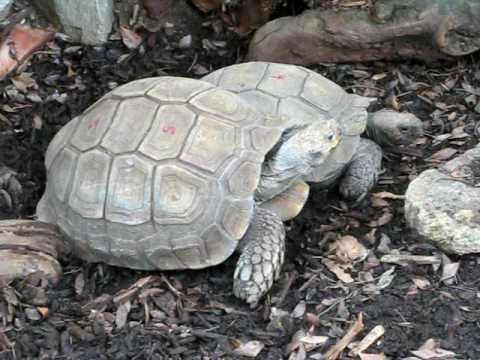 Tortoise yelling! mp3