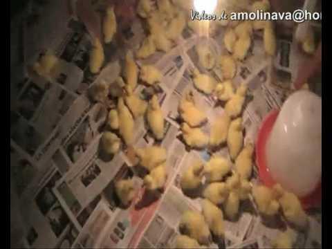 Crianza de Patos GRANJA KAYRA ZOOTECNIA CUSCO UNSAAC  YouTube