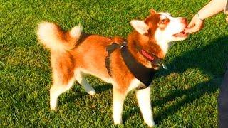 Husky Off Leash Training 2014 - Hd