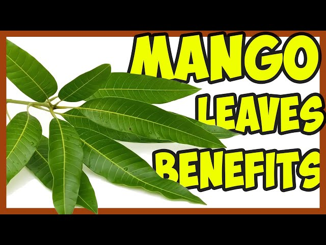 Mango Leaf Ash Can Be Used To Treat Burn Wounds