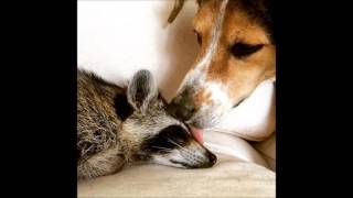 Orphaned Raccoon Rescued By Family With Dogs Thinks She's A Dog, Too