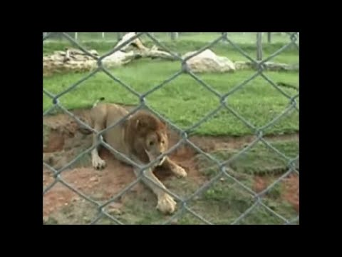 Circus lion feels grass for the first time in 13 years