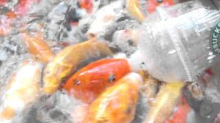 Our Koi Bottle Feeding at Ardyam Koi Farm