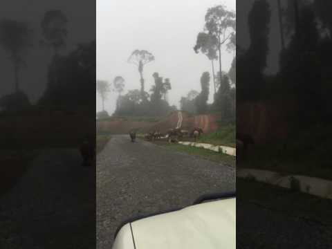 Elephants at Maliau