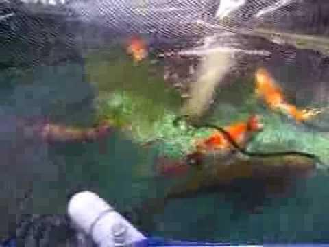 1000 gallon temporarily koi pond youtube for Koi pond gallons