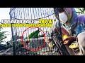 Lovebird Konslet  Brutal  Suara Kasar Durasi Panjang  Mp3 - Mp4 Download