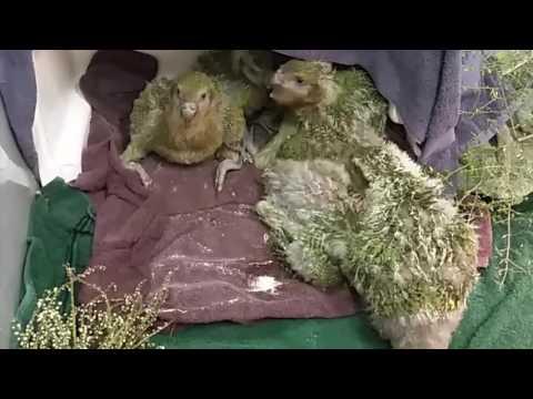 Kakapo  @ Esk St