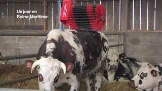 La vache normande à l'honneur