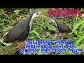 Suara Pikat Burung Ruak Ruak  Mp3 - Mp4 Download