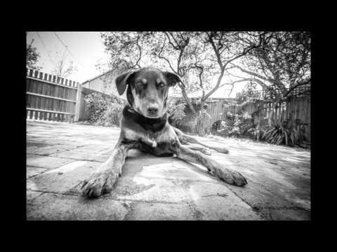Reginald   Australian Kelpie 1080p
