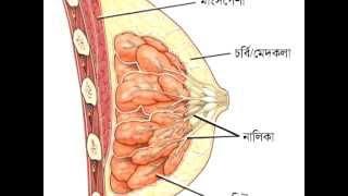 Scientific name of breast & penis