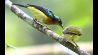 Ruby-Cheeked Sunbird-adult male feeding juvenile-2-Taiping,Perak,Malaysia,28March2012-video-Amar.wmv