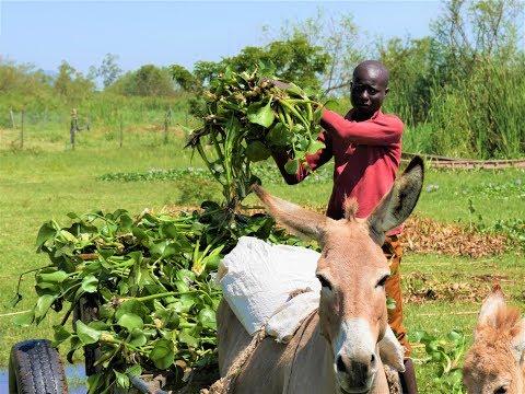 Using Water Hyacinth to make Animal Feeds