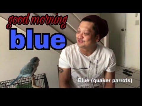 blue quaker parrots , good morning kiss