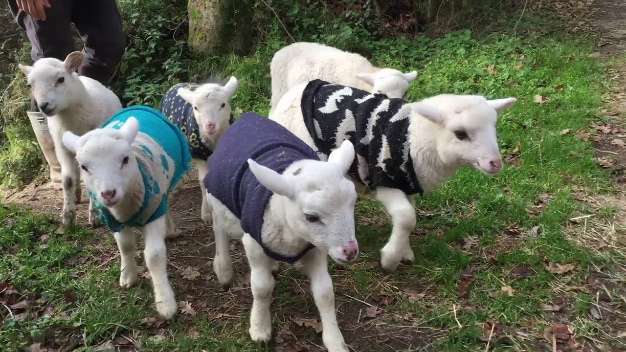 Ridiculously cute rescued lambs living happy and free - YouTube for Happy Baby Lamb  56mzq