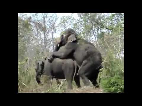 Allevamento Elephant - Elefanti accoppiamento -