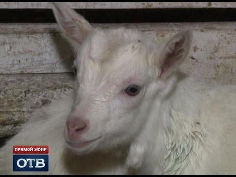 Дружелюбные козы из...