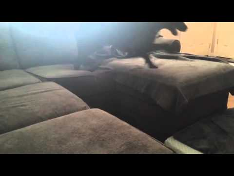 Dog Couch Jump Fail
