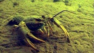 видео: Подводная охота за раками ! Ловля раков в мутном Днепре - Запорожье!