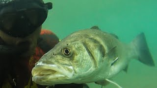 Spearfishing 🇬🇷 |🏆The WORLD RECORD SEA BASS POLESPEAR 5,1kg IUSA 1m DEEP +2x SUUNTO D5 GIVEAWAY ✅