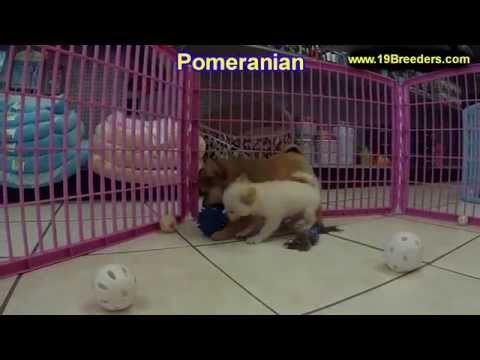 Pomeranian, Puppies, Dogs, For Sale, In Columbia, South Carolina, SC, Mount Pleasant, Sumter