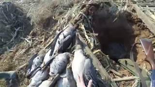 Охота  на гусей, 2017/Goose Hunting 2017