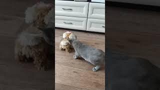 Афоня, котенок бурмы и игрушечная собака!