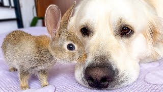 Baby Bunnies Show their Love to the Golden Retriever