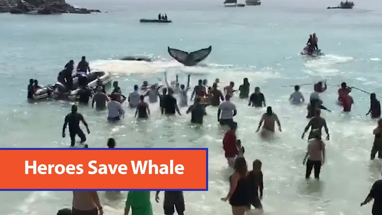 Beachgoers Rescue Beached Whale