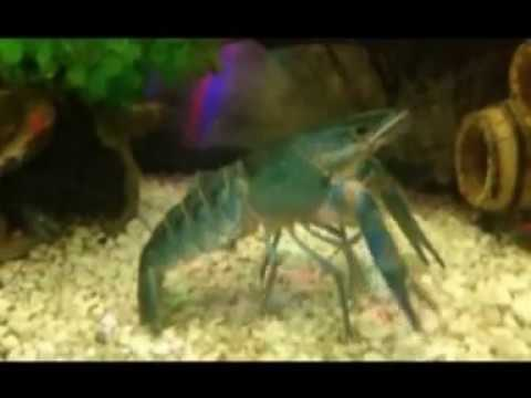 Blue Crayfish Breeding - Well Educational - All You Need To Know - NEW!!