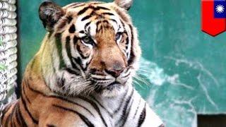Tygrys Bengalski ucieka z klatki w zoo w Taipei