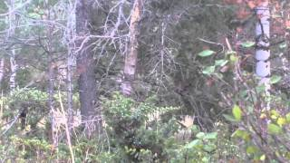 2013 Matt Swartz Nick Brunette Archery Elk Hunt Close Encounter 29 yards Massive Buck Outfitters