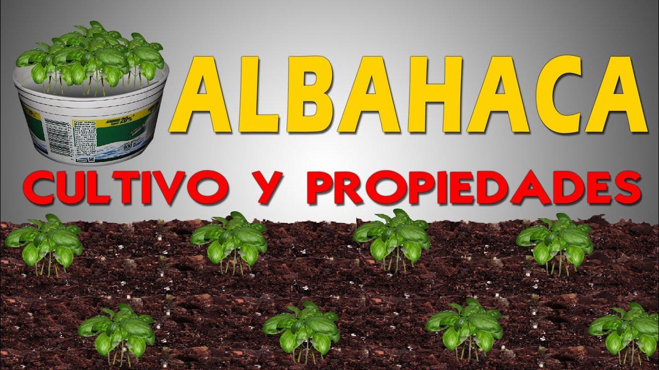 Cultivo y propiedades de la albahaca youtube for Cultivo de albahaca en interior