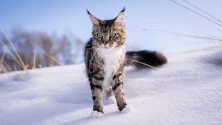 Maine Coon Molly Explores in the Snow (1 Year)