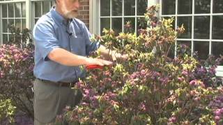 Pruning Rhododendron and Azaleas