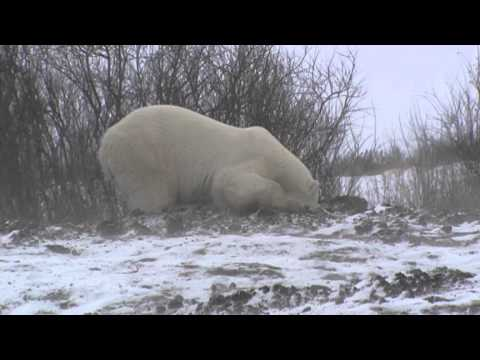 Drunk Polar Bears