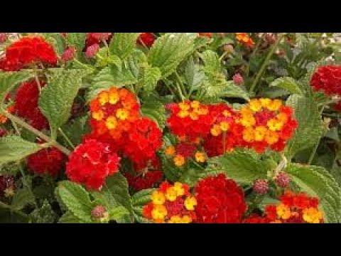 Lantana Plant रई मनय पध गरम और