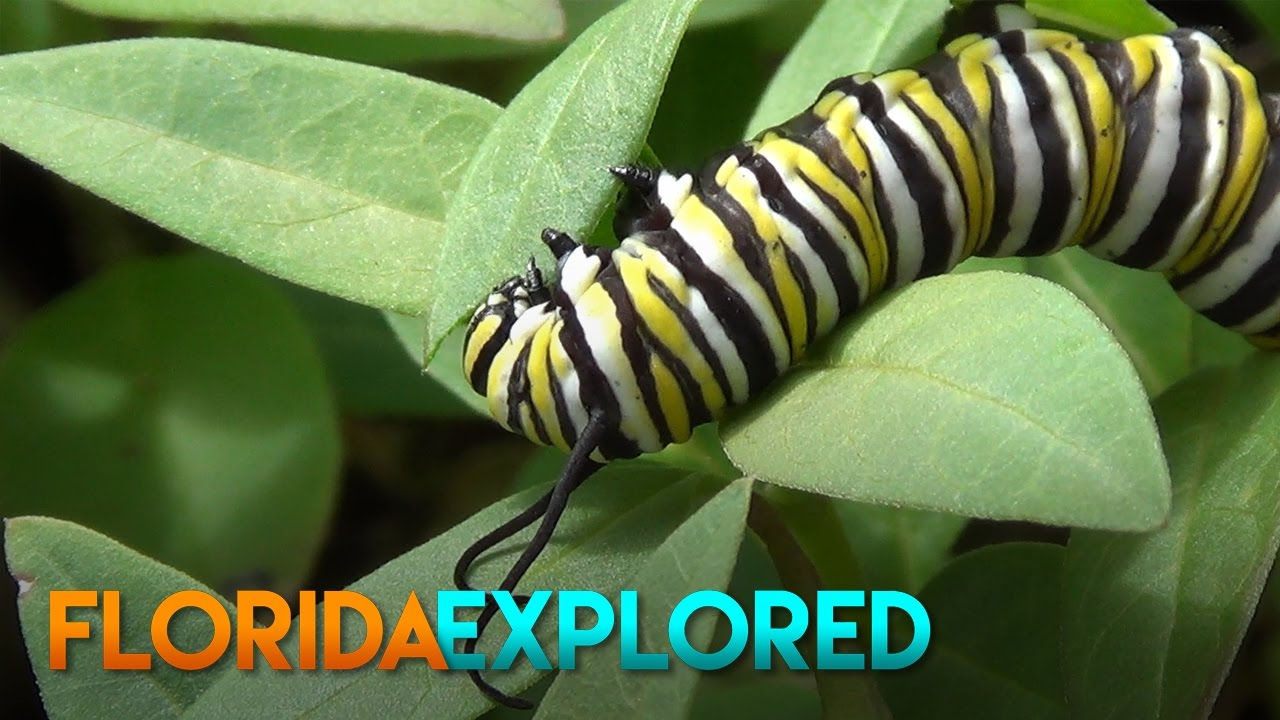 Monarch Caterpillar Eating Leaves - YouTube