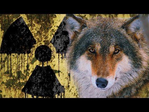 Волки Чернобыльской зоны