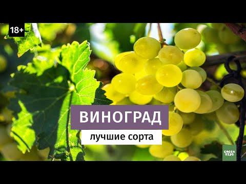 Виноград. Лучшие зимостойкие сорта. Северное виноградарство // 18+