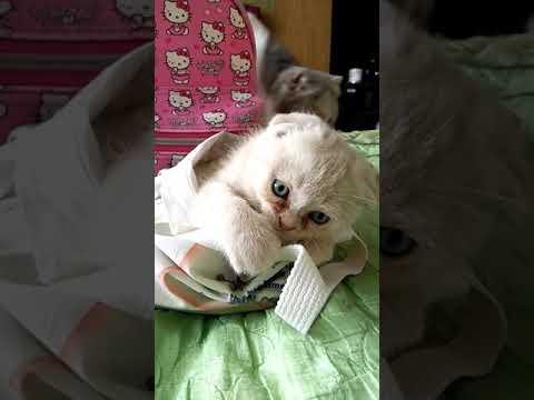 น้องชานมแมวถุง#Manekineko Cattery#Scottish fold#Cat#Cute