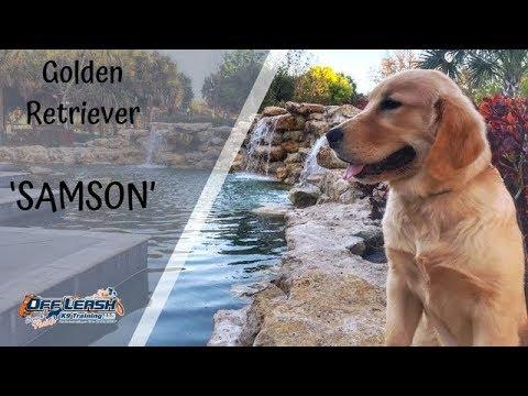 5MO OLD GOLDEN RETRIEVER 'SAMSON', 2 WEEK BOARD AND TRAIN PROGRAM