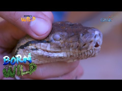 Born to Be Wild: Reticulated pythons set to be released back into the wild