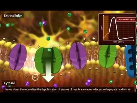Nerve Impulse Molecular Mechanism 3D Animation cut