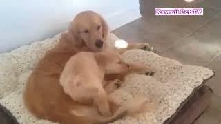 おもしろ犬の ハプニング、失敗を動画を一つにまとめてみました♪これで...
