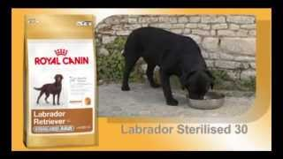 Labrador - Karakteristike Rase I Specifične Potrebe